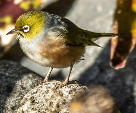 More Birds from the Northern Beaches – 26 July 2019 | David Noble Blog
